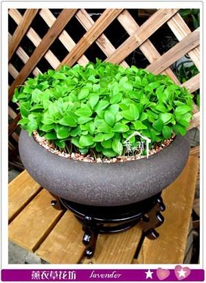 春芽~種子盆栽c072909