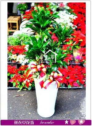 阿波羅盆栽c121526