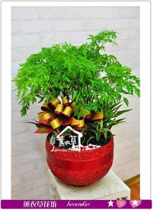 富貴樹~今日特價b120106