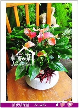 迷你火鶴盆栽 106050211