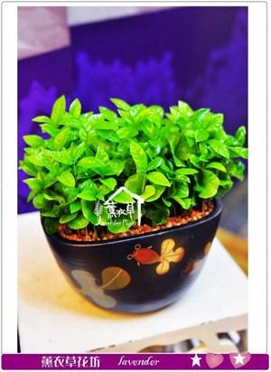 種子盆栽a091405