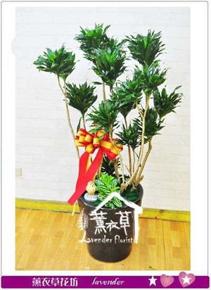 發波羅 盆栽 106072504