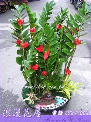 金錢樹盆栽 3-109
