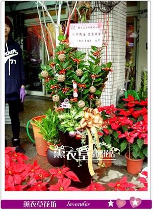 金錢樹盆栽y33093