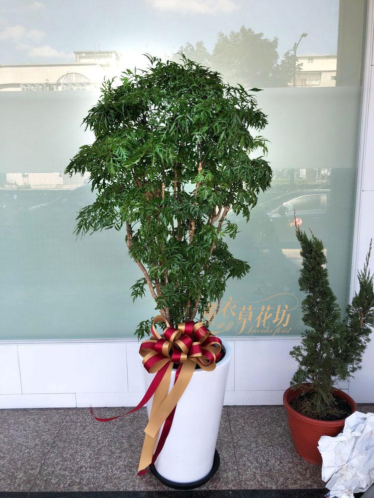 富貴樹盆栽109021904