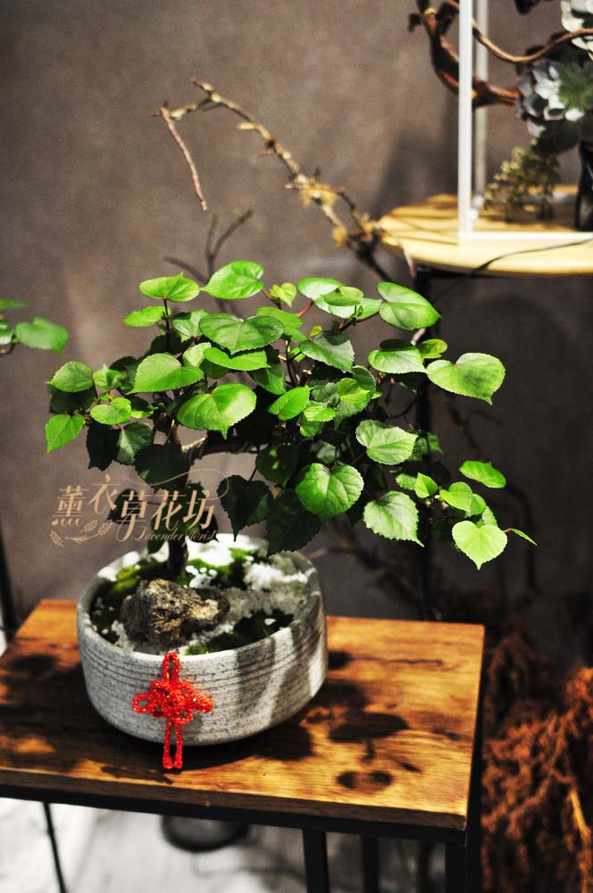 心葉黃槿盆栽108091701