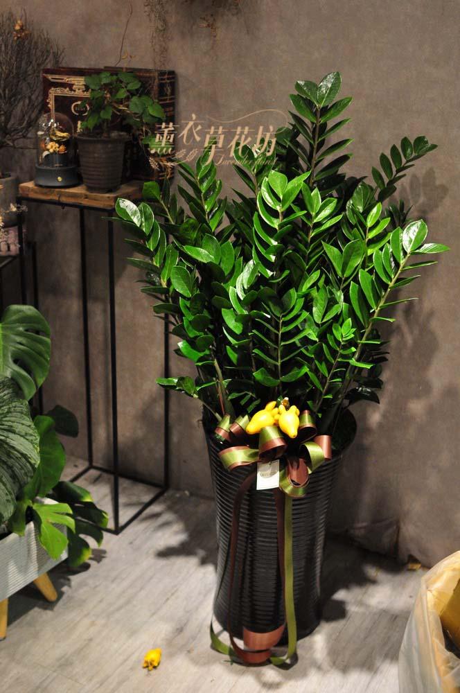 金錢樹盆栽108092001