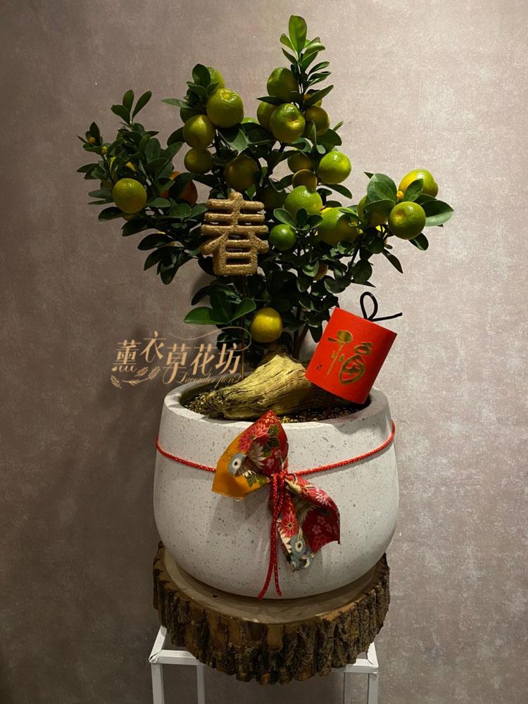金桔樹盆栽109011506