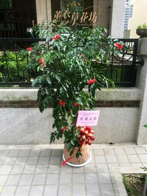旺旺樹盆栽 108070611