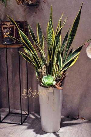 虎尾蘭盆栽107101811