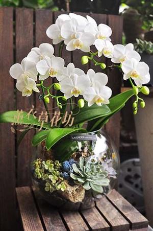 蝴蝶蘭/多肉植物/玻璃/設計107100705