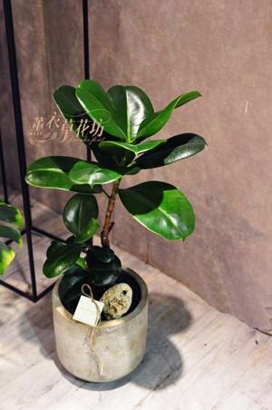 橡膠樹盆栽108081603