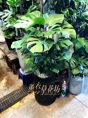 蔓綠絨盆栽107101817