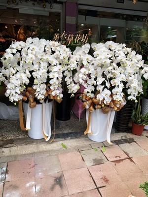 白色蝴蝶蘭ㄧ盆108081010