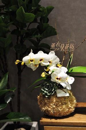 蘭花/蝴蝶蘭設計一盆 108082001