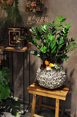 金錢樹盆栽設計108082405