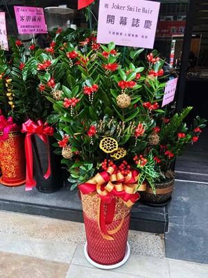 金錢樹盆栽108062901